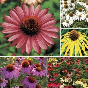 Park's Coneflower Seed Collection
