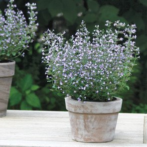 Marvelette Blue Calamint Seeds