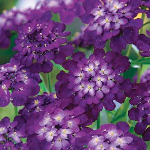 Candytuft Purple Rain Seeds