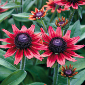 Rudbeckia Cherry Brandy Seeds (P) Pkt of 25 seeds