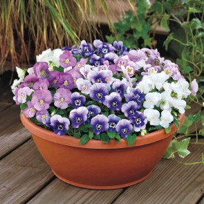 Admire® Spring Fling Mix Viola Seeds