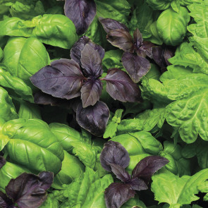 SimplyHerbs™ Try Basil Seeds